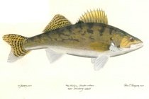 Walleye Pike